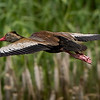 Black-bellied Whistling Duck in flight. Shot on 072214 on 3rd leg of autotrail at Anajuac NWR.  8% crop.