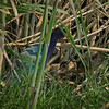 Purple Gallinule nest with an adult and multiple chicks.