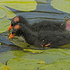 Moorhen chicks, AKA Common Gallinule chicks.