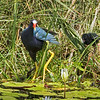Purple Gallinule with Alpha Chick.
