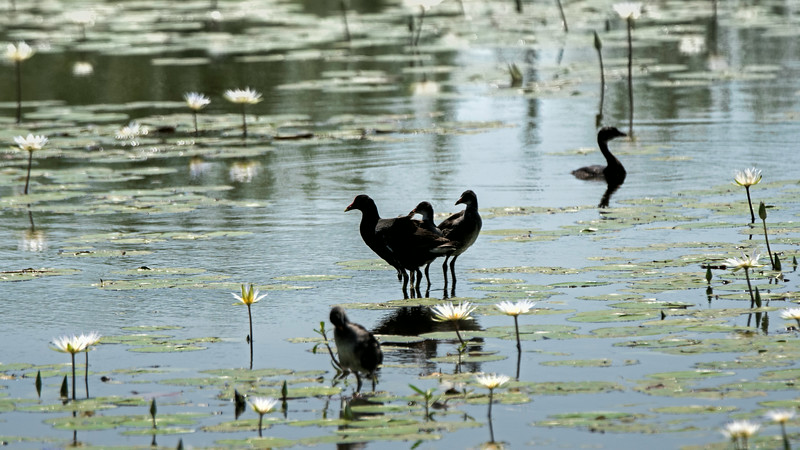 Moorhens and a Pied Grebe.