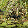 3 Purple Gallinule chicks.