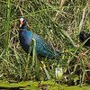 Purple Gallinule with unfledged chick.