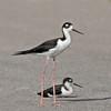 Black-neck Stilt with chick sitting.