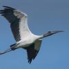 Wood Stork in flight.
