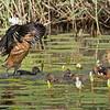 Fulvous Whistling Ducks.