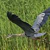 Great Blue Heron in flight(Tamron).