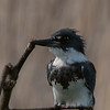 Belted Kingfisher (appx 60yds by my Nikon rangefinder)  (Tamron lens)