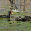 Moorhen and four chicks.