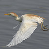 Cattle Egret in flight with non-breeding colors.