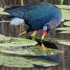 Purple Gallinule looking for a lily pad bulb, their favorite food source.  Shot with a Sony ILCA-77M2 camera body and a Sony 70-400mm F4-5.6 G SSM II (SAL70400G2) lens.  Effective focal length of 600mm.  ISO800, F5.6, 1/320 sec. exposure.