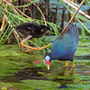 Purple Gallinule with young chick.