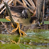 Purple Gallinule chick in the reeds on back side of the channel at Anahuac NWR at 7:20 AM on a cloudy, hazy morning.