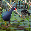 Purple Gallinule with chick.