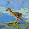 Purple Gallinule chick running across the lily pads.