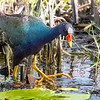 8.5% crop of Purple Gallinule, adult.  Shot with Sony  SAL70400G2SSM (eff. focal length of 600mm) on 070815.