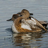 Gadwall mating pair.
