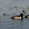 Ring-necked Ducks, female(left) and 2males(right)