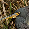 1.5% crop of a Tri-colored Heron(portrait).  ((1088x612)/42400000)