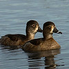 Two female Ringneck Ducks.