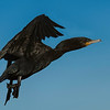 Neotropical Cormorant in non-breeding plumage in flight.