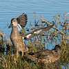 Bluewing Teal, 2 females.
