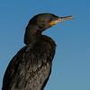 Neotropical Cormorant in non-breeding plumage.