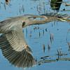 Great Blue Heron in flight.