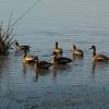 Black-bellied Whistling Ducks.