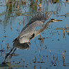 Great Blue Heron taking off.