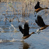 3 Fulvous Whistling Ducks taking off.