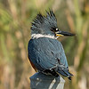 1.4% crop of a female Belted Kingfisher.  This bird itself is less than 1% of the full-frame.  Shot with the Sony A7R II body and the Sony SAL70400G2 lens.