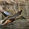 Northern Shoveler Drake in flight.