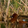 1.5% crop of a Cinnamon Teal drake.  At least 50 yards out on 4th leg of autotrail at Ananhuac NWR.  Shot with  Sony A77, 24.2mp, 1.5 crop body and a Tamron SP 150-600mm /5.0-6.3 DI USD lens(900mm effective focal length)