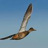 Northern Shoveler in flight, female.