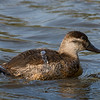 Ruddy Duck female.
