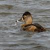 Ring-neck Duck female.