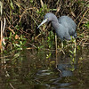 Little Blue Heron.  Shot on road that goes down to duck boat launch.