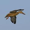 Northern Shoveler female in flight.