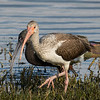 Immature White Ibis(front) and White-faced Ibis immediately behind.  Glossy Ibis in rear.