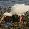 White Ibis searching for crawfish.  Beginning of a sequence of the search, the catch, the prep, and the shallow.  Shot with the Sony A7R II body and the Sony SAL70400G2 lens.