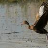 Black-bellied Whistling Duck in flight.
