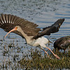 Immature White Ibis taking to flight.