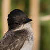 Eastern Kingbird portrait.