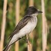 Eastern Kingbird.