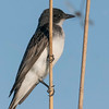 Eastern Kingbird with dragonfly in background.