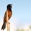 Orchard Oriole male.  The only creature today that was as far asea as 'me.'
