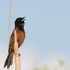 Orchard Oriole male.  Only thing done in Photoshop was use of NeatImage plug=in.