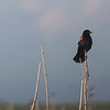 Early shot of the day.  Redwing Blackbird.