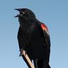 Redwing Blackbird male.